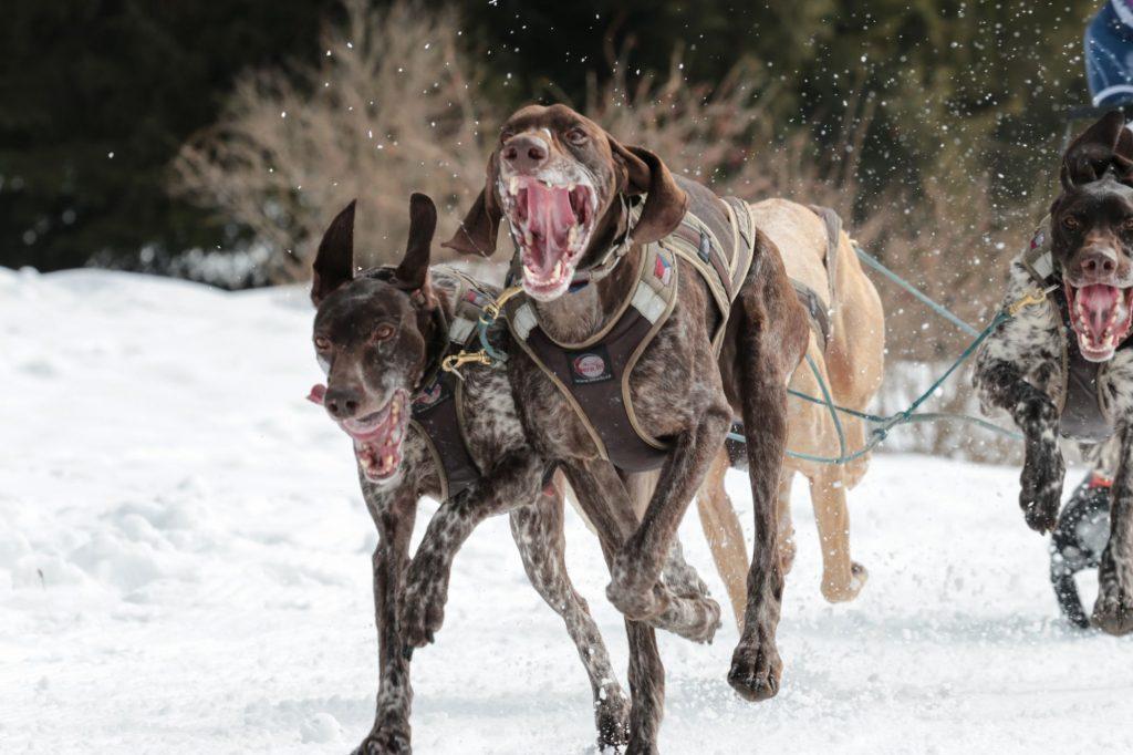 Evropští saňoví psi vakci